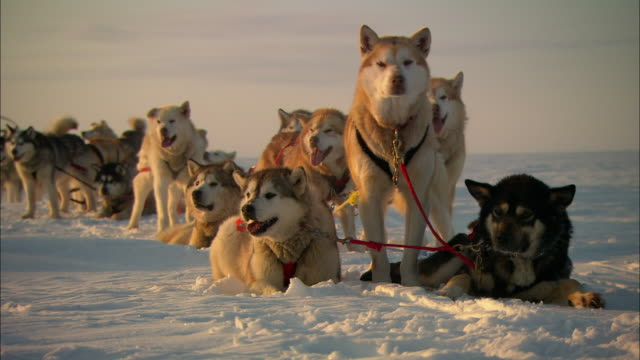 A team of sled dogs rests on the snowy Alaskan tundra.