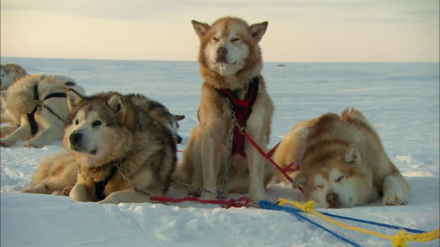 A team of sled dogs takes a break on the snowy tundra.