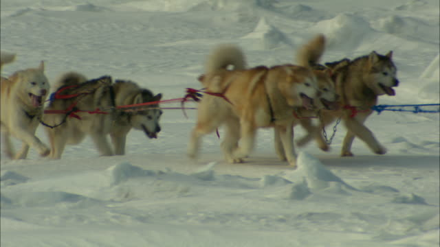 Teams of husky sled dogs pull sled ropes.