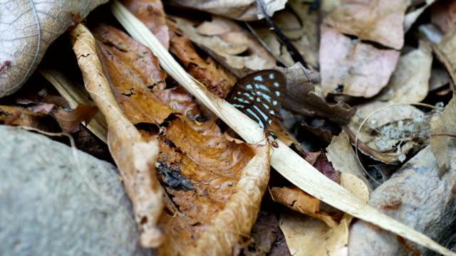 stockvideo's en b-roll-footage met teamwork van mieren helpen te voeren vlinder vleugel terug naar hive, close-up - voelspriet