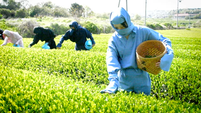 teapicking took a stealthy turn on april 26 when newly hired municipal workers in koka shiga prefecturejapan took to the tea fields dressed as ninja... - shiga prefecture stock videos & royalty-free footage
