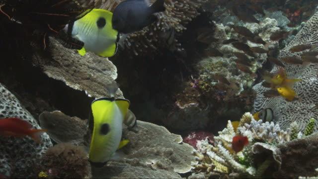 teardrop butterflyfish (chaetodon unimaculatus) - butterflyfish stock videos & royalty-free footage