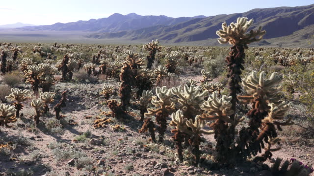 teddy bear cholla cactus garden, joshua tree national park - joshua tree national park stock videos & royalty-free footage