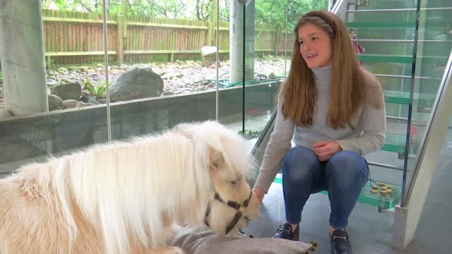teddy the shetland pony finds popularity on social media uk surrey various shots of teddy the shetland pony and alice goring interview surrey ext... - hoof stock videos & royalty-free footage