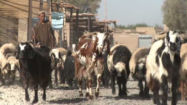 A Teenage Afghan Shepherd Herds Goats And Sheep Through A Village