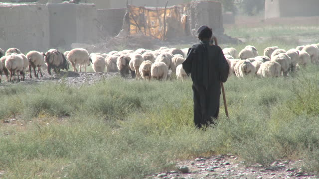 stockvideo's en b-roll-footage met a teenage afghan shepherd holds a staff as he herds a flock of sheep near a village. - afghanistan