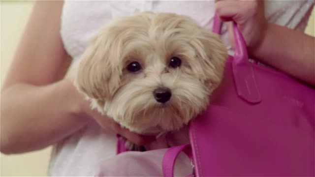 MS, ZI, ZO, Teenage girl (16-17) carrying west highland white terrier in pink shoulder bag, portrait