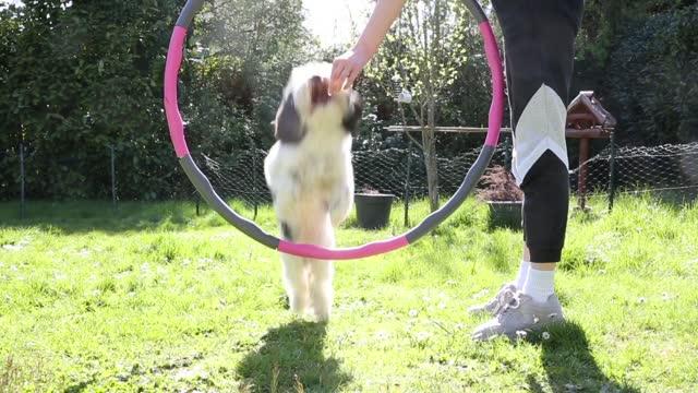 vídeos de stock, filmes e b-roll de teenager teaching a young dog to jump through a plastic hoop in a back yard on a sunny day - só uma adolescente menina