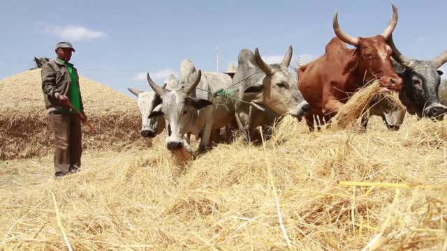 teff a grain mostly grown in the horn of africa is a key part of ethiopias heritage and a crucial food staple clean : ethiopian farmers hope to cash... - horn of africa stock videos & royalty-free footage