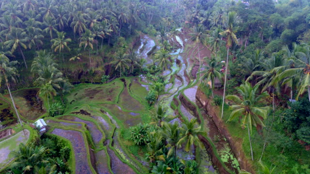 tegalalang rice terrace bali - rice terrace stock videos and b-roll footage