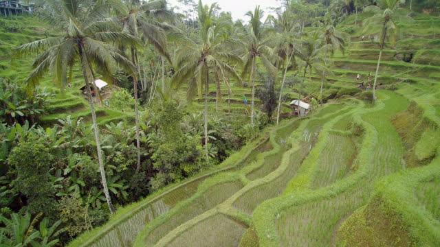tegalalang rice terrace bali - 30 seconds or greater stock videos & royalty-free footage