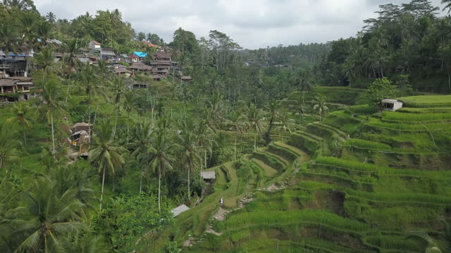 tegallalang rice terrace / tegallalang village, bali, indonesia - grove stock videos & royalty-free footage
