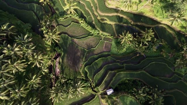 tegallalang rice terraces - saftig bildbanksvideor och videomaterial från bakom kulisserna