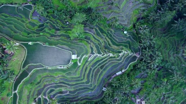 tegallalang rice terraces - exoticism stock videos & royalty-free footage