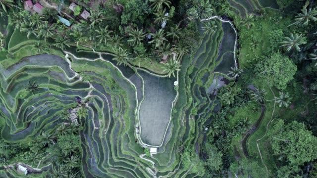 Terrasses de Tegallalang Rice