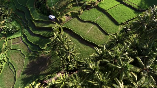 Tegallalang Rice Terrassen