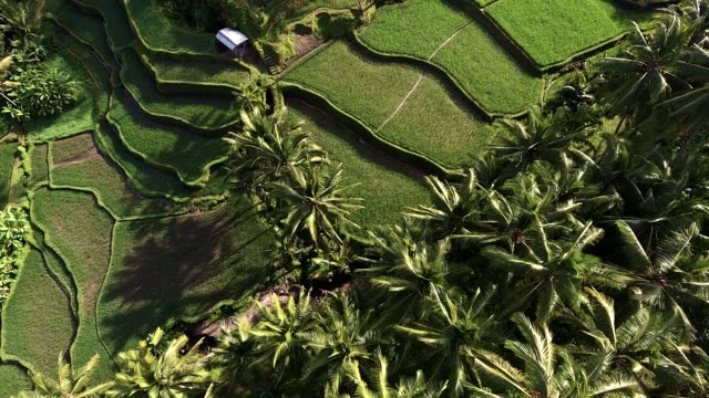 tegallalang rice terraces - esotismo video stock e b–roll