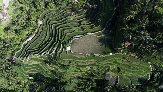 tegallalang rice terraces - ubud district stock videos & royalty-free footage