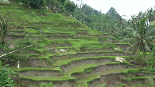 tegallalang, the most famous rice field terrace of bali, indonesia - campuhan stock videos & royalty-free footage