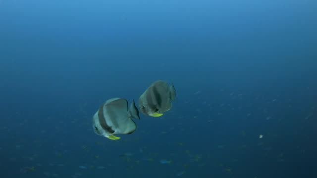 Teira Batfish (Spadefish) tracing under sea surface