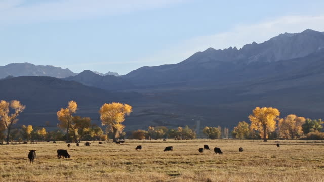 Telephoto pan shot of black cows in golden grass meadow at sunset with Sierra Nevada mountains and yellow leafed Cottonwood trees in background.