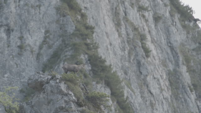 telephoto shot of an ibex on the edge of a cliff - cliff stock videos & royalty-free footage