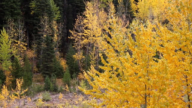 telephoto shot of golden cordwood leaves blowing in the wind with evergreen forest in background. - cottonwood tree stock videos and b-roll footage