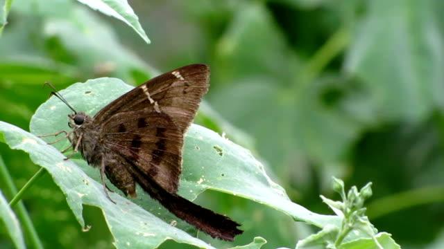 vidéos et rushes de teleus «à longue queue» - des papillons dans le ventre