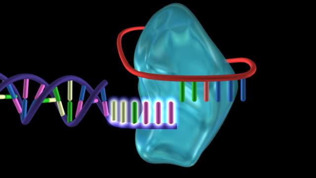 telomerase enzyme. - chromosome stock videos & royalty-free footage