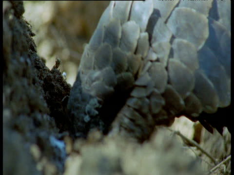 temminck's pangolin claws ant nest and licks up ants, then walks away, africa - pangolino video stock e b–roll
