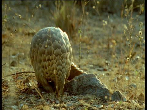 temminck's pangolin digs out ant nest then walks away, africa - pangolino video stock e b–roll