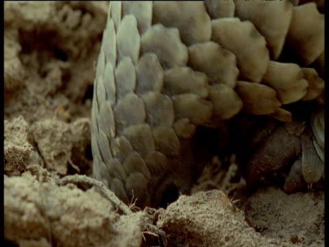 temminck's pangolin digs out ants nest, ants crawl over pangolin, africa - pangolino video stock e b–roll