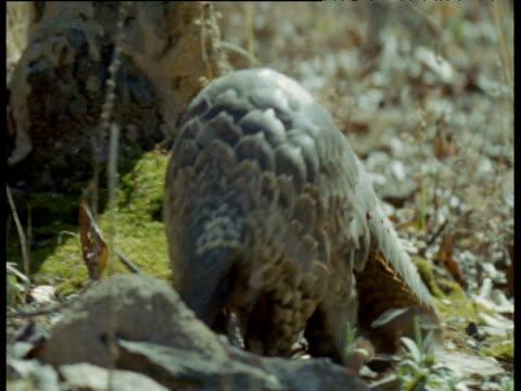 Temminck's Pangolin forages through scrub, Africa