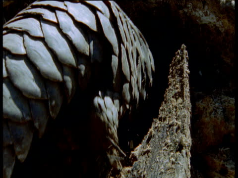 temminck's pangolin tears into ant nest, africa - pangolino video stock e b–roll