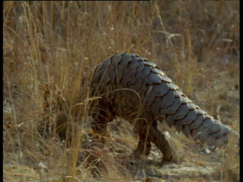 temminck's pangolin walks away from camera followed by serval, africa - pangolino video stock e b–roll