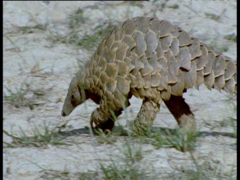 temminck's pangolin walks by on hind legs, africa - pangolino video stock e b–roll