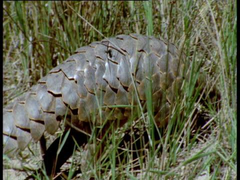 Temminck's pangolin walks over ground and into grass, Africa