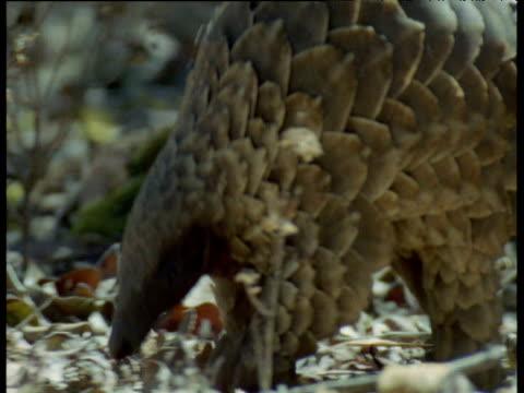 Temminck's Pangolin walks through scrub, Africa