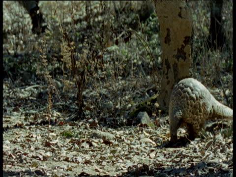 temminck's pangolin walks through scrub, africa - pangolino video stock e b–roll