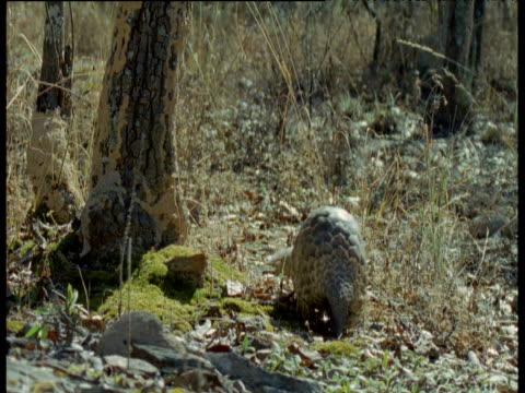 Temminck's Pangolin walks towards camera, Africa