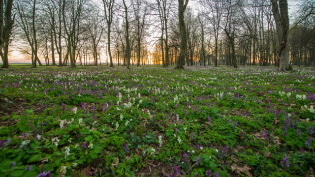 T/L 8K Temperate flowers in the forest at sunset