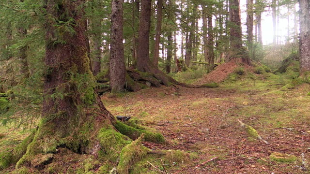 temperate rainforest in sitka sound, alaska - evergreen stock videos & royalty-free footage