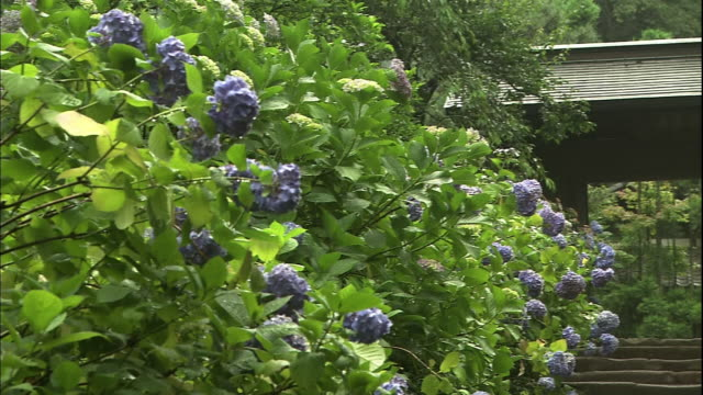 temple gate in the middle of hydrangea macrophylla bushes. - 神奈川県点の映像素材/bロール