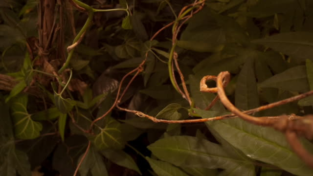 tendrils of climbing plants wrap around stems and vines. available in hd. - vine plant stock videos & royalty-free footage