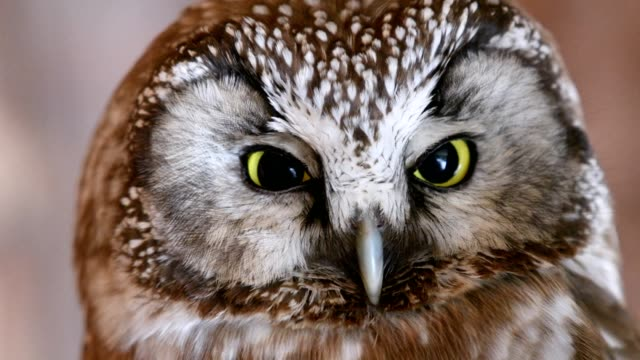 tengmalm's owl, aegolius funereus, portrait, bavarian forest, bavaria, germany - 30 seconds or greater stock videos & royalty-free footage