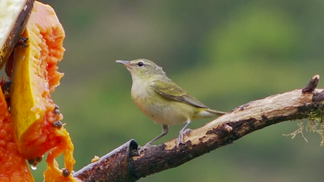 tennessee warbler at feeder, savegre, costa rica - warbler stock videos & royalty-free footage
