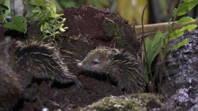 Tenrec (Tenrec ecaudatus) and young forage on forest floor, Madagascar
