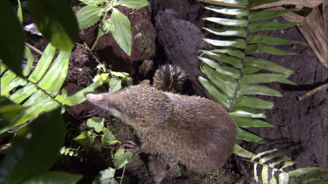 Tenrec (Tenrec ecaudatus) leads young from burrow on forest floor, Madagascar