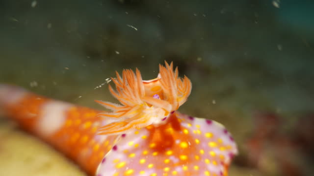 Tentacle of nudibranch undersea