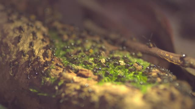 a termite colony moves on the tree in mulu national park, island of borneo - malaysia video stock e b–roll